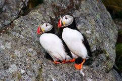 Twee fraterculas (papegaaiduikers) Stock Afbeelding