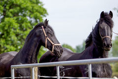 Twee Frisian-paarden Stock Foto