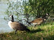 Twee ganzen bij het meer Stock Afbeeldingen