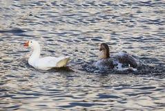Twee ganzen die in de vijver zwemmen Stock Foto