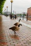 Twee ganzen die gelukkig langs het voetpad bij Salford-Kaden wandelen stock afbeelding