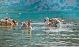 Twee ganzen die in het meer zwemmen Stock Afbeeldingen