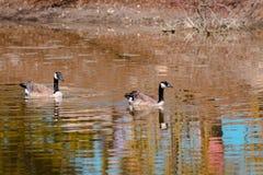 Twee ganzen die in het water in Frederik Meijer Gardens zwemmen stock fotografie