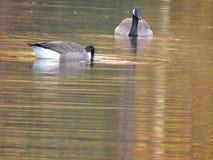 Twee ganzen die in het water zwemmen stock foto's