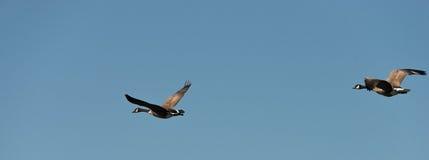 Twee Ganzen die op een Blauwe Hemel vliegen Royalty-vrije Stock Afbeeldingen