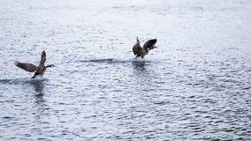 Twee ganzen die op het water landen stock fotografie
