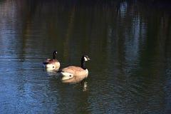 Twee ganzen die van Canada in een meer zwemmen stock afbeeldingen