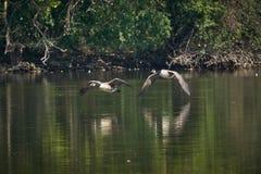 Twee ganzen die van Canada laag over rivier vliegen royalty-vrije stock fotografie
