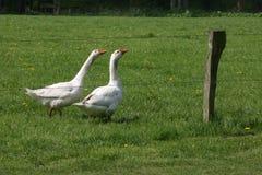 Twee ganzen in een weide Royalty-vrije Stock Afbeeldingen