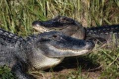 Twee Gators Stock Afbeeldingen