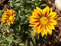 Twee Gazanias op de tuin Royalty-vrije Stock Foto