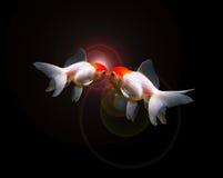 Twee geïsoleerde goudvissen stock fotografie