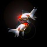Twee geïsoleerde goudvissen royalty-vrije stock afbeeldingen