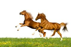 Twee geïsoleerdee kastanjepaarden Stock Afbeeldingen