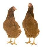 Twee Geïsoleerdee Kippen stock afbeelding