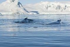 Twee gebocheldewalvis. Royalty-vrije Stock Afbeelding