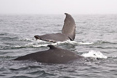 Twee gebocheldewalvissen Royalty-vrije Stock Afbeeldingen