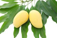 Twee geel mangoblad Stock Afbeeldingen