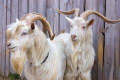 Twee geiten Royalty-vrije Stock Afbeeldingen