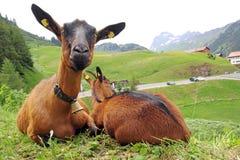 Twee geiten Stock Fotografie