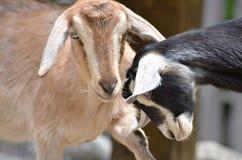 Twee geiten Royalty-vrije Stock Afbeelding