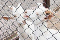 Twee geiten in de paddock Royalty-vrije Stock Foto's