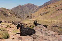 Twee geiten die op rotsen in bergen zitten Trekking op Toubkal Stock Fotografie