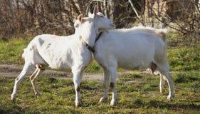 Twee geiten het omhelzen royalty-vrije stock afbeelding