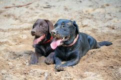 Twee gekke labradors Royalty-vrije Stock Foto