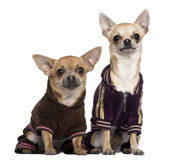 Twee geklede Chihuahuas in spoorkostuums Stock Foto's