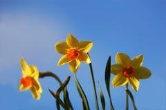 Twee gekleurde tulpen stock foto