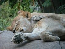 Twee geknuffelde leeuwen het opnemen van een dutje royalty-vrije stock foto's