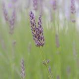Twee gekruiste lavendelbloemen Stock Foto
