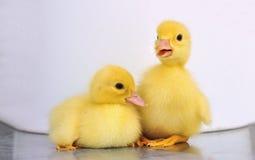 Twee gele babyeenden royalty-vrije stock afbeeldingen
