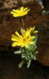 Twee gele bloemen Stock Fotografie