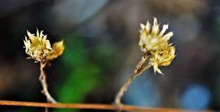 Twee gele bloemen royalty-vrije stock foto's