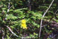 Twee gele bloemen van een eeuwigdurend kruid Yastrebinka Stock Foto's