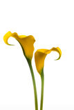 Twee gele Calla Lelies royalty-vrije stock foto