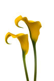 Twee gele Calla Lelies Stock Foto's
