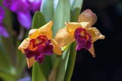Twee gele cattleyaorchideeën in een tuin royalty-vrije stock fotografie