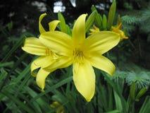 Twee gele daglelies Royalty-vrije Stock Afbeelding