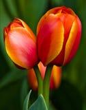 Twee gele en rode tulpen Royalty-vrije Stock Fotografie