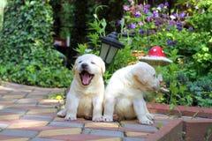 Twee gele gelukkige puppy van Labrador in tuin stock foto's
