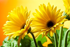 Twee gele gerberas Stock Foto