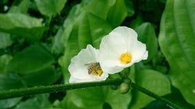 Twee gele honingbijen die nectar op witte bloemen verzamelen stock video