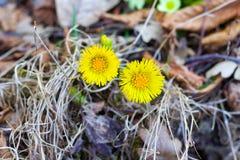 Twee gele madeliefjes in bloei onder droge bladeren royalty-vrije stock afbeeldingen