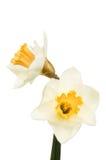 Twee Gele narcisbloemen Royalty-vrije Stock Afbeelding