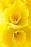 Twee gele narcissen Royalty-vrije Stock Fotografie