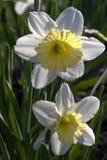 Twee gele narcissen in de tuin Royalty-vrije Stock Fotografie