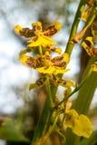 Twee gele orchideeën Dansende dame met zon lichte en zachte nadruk royalty-vrije stock fotografie